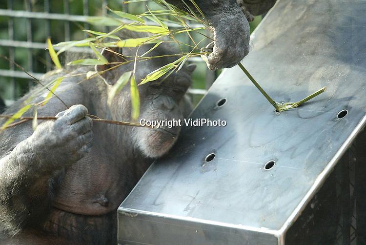 Foto: VidiPhoto..AMERSFOORT - De unieke chimpanseegroep van Dierenpark Amersfoort heeft vrijdag een nieuw verblijf in gebruik genomen. Op veel plaatsen waar eerst tralies stonden is er nu glas geplaatst, waardoor er een interactie plaatsvindt tussen dieren en publiek. De 24 chimpansees van Dierenpark Amersfoort zijn bijzonder omdat het hier om de enige raszuivere groep Afrikaanse chimps in Nederland gaat. Foto: Door met een stokje in een voederbak met stroop en rozijnen te peuteren, kunnen de chimpansees lekker snoepen.
