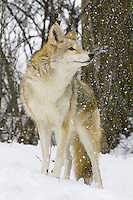 Coyote standing under some snow falling off the branches of a tree - CA