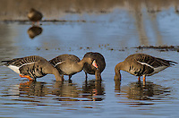 537260007 wild  greater white-fronted geese anser albifrons at colusa national wildlife refuge califonia