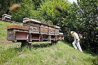 Switzerland. Canton Ticino. Montagnola. Alberto Bianchi (dressed in white) is a beekeeper and an organic farmer (with the label Bio Suisse). He walks on a meadow in the woods (Robinia pseudoacacia) and carries on his back a blower to remove bees from honeycombs before collecting them and the wooden box in order to bring them back to the place where he produces honey. Beekeeping (or apiculture) is the maintenance of honey bee colonies, commonly in hives, by humans. A beekeeper (or apiarist) keeps bees in order to collect honey and other products of the hive (including beeswax, propolis, pollen, and royal jelly). Robinia pseudoacacia, commonly known as the Black Locust, is a tree in the subfamily Faboideae of the pea family Fabaceae. A less frequently used common name is False Acacia, which is a literal translation of the specific epithet. 31.05.12 © 2012 Didier Ruef
