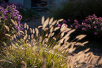 Backlit flower stalks of Fountain Grass, Pennisetum alopecuroides in autumn garden with asters in sunlight