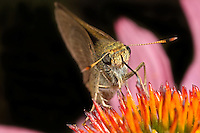 Skipper Butterfly nectaring on flower, Hesperiidae, New Hampshire, USA