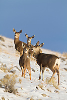Mule deer (Odocoileus hemionus)doe with fawn in Wyoming