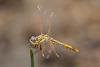 362800018 a wild immature male variegated meadowhawk sympetrum corruptum perches on a grass stem along warm springs road near bishop inyo county california united states
