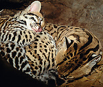 An ocelot kitten curls up with its mother, Arizona, USA