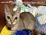 photo of Singapura cat taken with iPhone 4S the first day it came out, October 14, 2011. Unretouched, just  downsized and watermark added,, 72ppi, f/2.8, 1/15, ISO 800, AWB.  © 2011 Ann Parry, All rights reserved, Ann-Parry.com