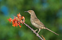 581990068 a wild curve-billed thrasher toxostoma curvirostre perches on a flowering ocotillo plant foqueria splendens southern arizona