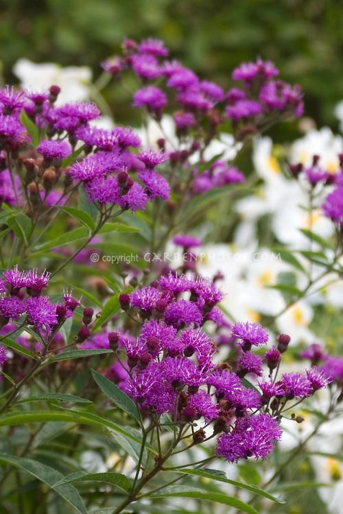 Vernonia 'Mammuth' aka V. arkansana aka V. crinita (Ironweed)