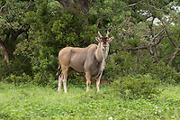 Eland male (Taurotragus oryx), South Africa