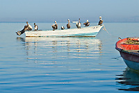 Small fishing boat with covered with Pelicans in the Sea of Cortez, La Paz, Baja
