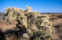 CHOLLA CACTUS<br /> Cholla is a term applied to various shrubby cacti of the opuntia genus with cylindrical stems composed of segmented joints.  These stems are actually modified branches that serve several functions--water storage, photosynthesis and flower production.
