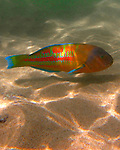 A tropical fish swims along the ocean floor on Kaua'i, Hawaii, in Poi'pu Bay.