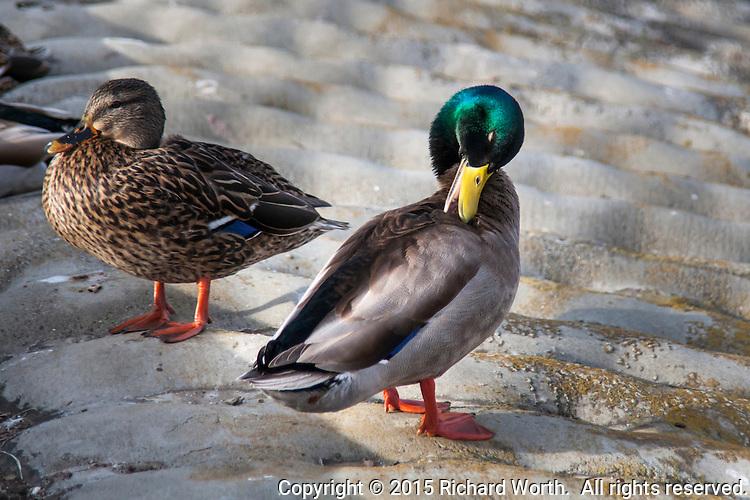 A female and male Mallard at a neighborhood park - urban wildlife.