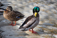 A female and male Mallard at a neighborhood park - urban wildlife.
