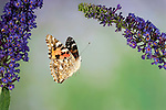 Painted Lady Butterfly, Cynthia cardui, adult, in flight, high speed photographic technique, flying over buddelia, migrant to UK.United Kingdom....