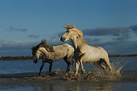 Camargue Horses running in water, France