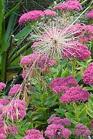 Sedum, Allium schubertii ornamental onion, two different summer flowering perennials in plant combination