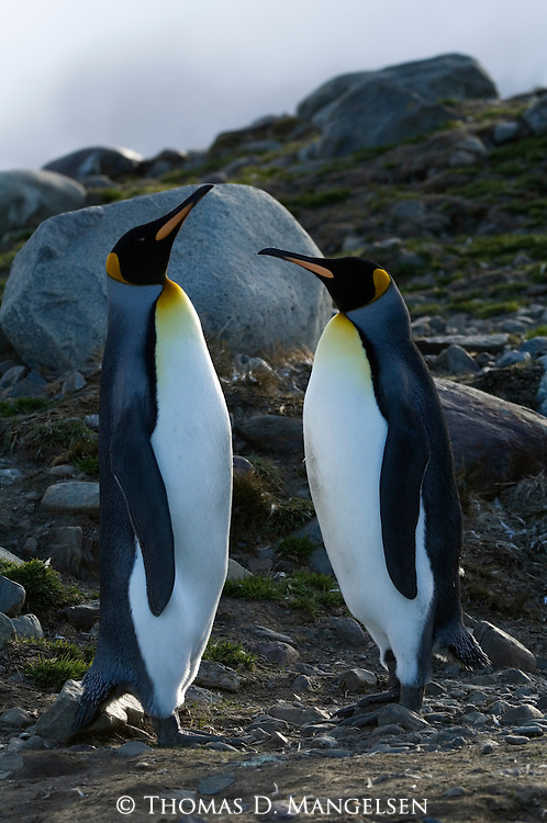 A king penguin pair at St. Andrews Bay on South Georgia.