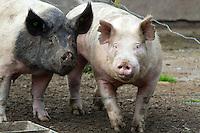 Tom the Pig Update April 4. 2015