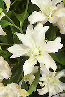 Double white lily Lilium Polar Star