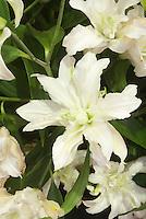 Double white lily Lilium Polar Star