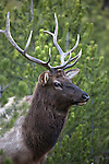A bull elk stands in the trees in Yellowstone