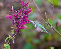 Bumblebee Hummingbird female, El Palmito, Sinaloa, Mexico
