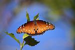 Queen butterfly in Palm Desert