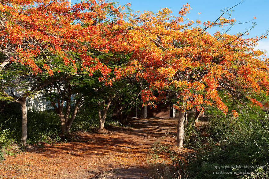 Puerto Ayora, Santa Cruz Island, Galapagos, Ecuador; flowering Flamboyant trees along the road in the El Eden section of Puerto Ayora , Copyright © Matthew Meier, matthewmeierphoto.com All Rights Reserved