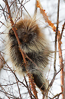 Porcupine clinging to a birch tree