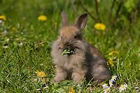 Zwerg-Kaninchen, Zwergkaninchen, auf Frühlingswiese, frisst Löwenzahn-Blatt, dwarf rabbit