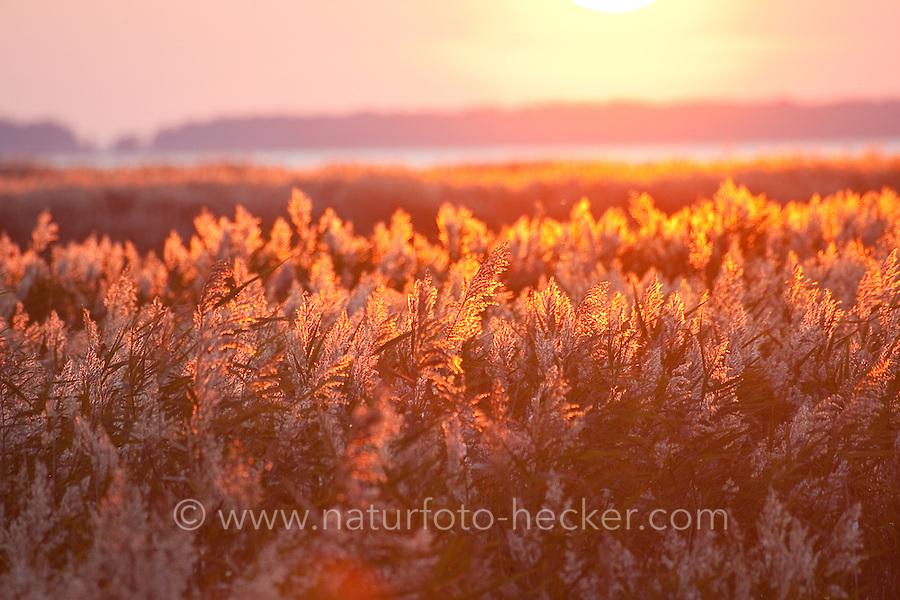 Sonnenuntergang über einem Schilfgebiet, Schilf, Schilfrohr, abendliche Stimmung, Abendstimmung, Sonne, Schilf im Gegenlicht, Phragmites australis, Phragmites communis, Reed, Reed Grass, sundown, sunset