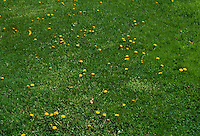 Dandelions in seedheads & flower in lawn grass