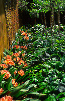 Large leaf rambling ivy and flowering Clivia miniata cover the ground completely along a side wall of the house