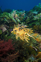 me113. Leafy Sea Dragon (Phycodurus eques). South Australia, Pacific Ocean..Photo Copyright © Brandon Cole. All rights reserved worldwide.  www.brandoncole.com..This photo is NOT free. It is NOT in the public domain. This photo is a Copyrighted Work, registered with the US Copyright Office. .Rights to reproduction of photograph granted only upon payment in full of agreed upon licensing fee. Any use of this photo prior to such payment is an infringement of copyright and punishable by fines up to  $150,000 USD...Brandon Cole.MARINE PHOTOGRAPHY.http://www.brandoncole.com.email: brandoncole@msn.com.4917 N. Boeing Rd..Spokane Valley, WA  99206  USA.tel: 509-535-3489