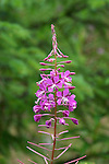 Alaska, Cruising the Southeast wilderness waterways on the Spirit of Discovery..Rain forest at Kake.  Fireweed..Photo copyright Lee Foster, 510/549-2202, lee@fostertravel.com, www.fostertravel.com.