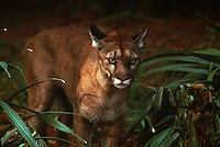 Efforts are being made to save the endangered Florida panther at White Oak Conservation Center, one of the world's premiere wildlife breeding, research facilities. <br />