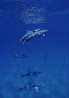 Spinner dolphing swimming and playing around Hawaiian water.<br /> Delfines jugando y saltando en las aguas de Maui,Hawaii.