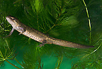 Smooth Newt, Triturus vulgaris, swimming in pond and weed, garden.United Kingdom....