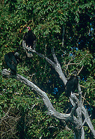 591000006 Black Vultures Coregyps atratus WILD.Black Vultures and Turkey Vulture in Tree.Tamaulipas State, Mexico