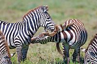 Plains Zebra, Serengeti National Park, Tanzania, East Africa