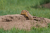 673030136 two wild utah prairie dogs cynomys parvidens a threatened species  interact by their burrow in bryce canyon national park utah united states