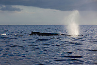 Humpback whale blowing out air from blowhole.