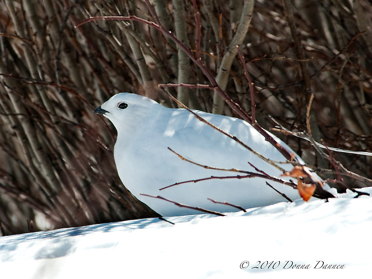 White-tailed ptarmigan in winter plumage among willows on alpine tundra.