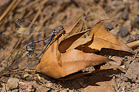 338670010 a wild mated pair of tonto dancers argia tonto perch on a fallen leaf in scotia canyon cochise county arizona united states
