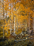 Aspens in fall, Boulder Mountains, near Sun Valley Idaho