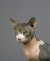 Adult hairless Sphynx Domestic Cat