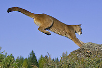 Mountain Lion leaping to a rock - CA