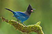 Steller's Jay (Cyanocitta stelleri) perched on mossy branch, Victoria, British Columbia, Canada.