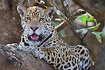 Pantanal: Jaguars and Otters